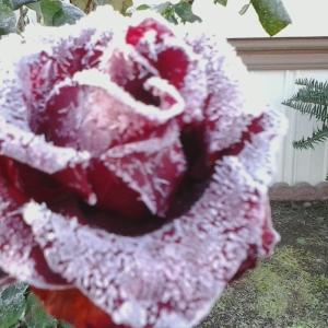 Frozen Rose 11.17.14